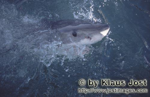 Great White Shark/Carcharodon carcharias        The intense deep blue eye of the Great White Shark</