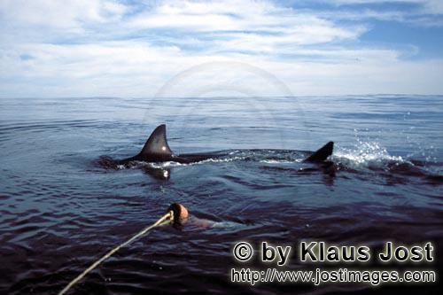 Great White shark/Carcharodon carcharias        Great White Shark cautiously circling the bait