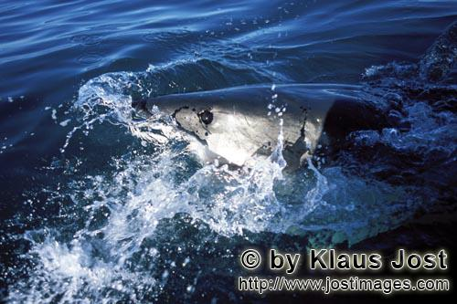 Weißer Hai/Great White shark/Carcharodon carchariasDeep blue eye of the Great White shark