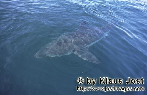 Great White shark/Carcharodon carcharias        Ancient sea creatures Great White Shark        A