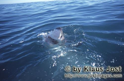 Great White Shark/Carcharodon carcharias        Curious great white shark        Six sea (or nautica
