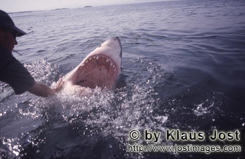 Weißer Hai/Great White Shark/Carcharodon carchariasThe mouth of the Great White Shark: a deadly weapon Once, as Andre Hartman anchored near Dyer Island and Geyser Rock, a Greate White Shark came right up to the boat. It was not interested in the fish bait, however, but wanted to bite the outboard. Andre Hartman touched him on the nose and tried carefully to push him back. Then, he made a remarkable discovery: the Greate White Shark came further out of the water, pulled back its head and opened its mouth. As if in slow motion, it paused for a moment, only to return to its element. By chance, Andre Hartman had discovered how the Greate White Shark reacts when it is touched in this sensitive area. Of course, the film crew, photographers and tourists were highly impressed. And, of course, the other shark tour operators imitated him straight away. These days, these open-mouth moves have been banned – and quite rightly. The Greate White Shark is not familiar with this sort of thing in nature. It is being paraded; essentially, it is a circus trick.