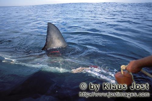 Weißer Hai/Great White Shark/Carcharodon carcharias        Great white shark dorsal fin right on th