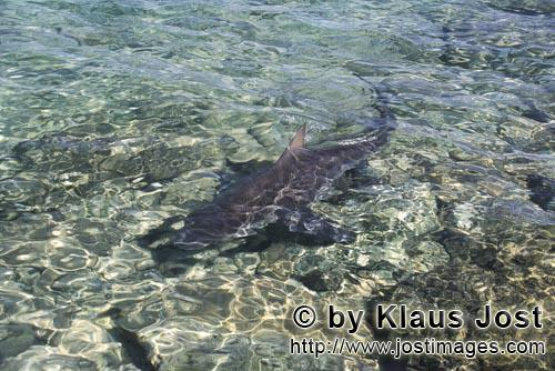 Bull shark/Carcharhinus leucas        Bull shark fin rises from the shallow water        Together wi