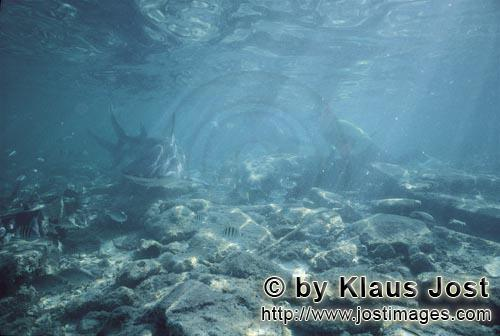 Bull shark/Carcharhinus leucas        Bull Shark in shallow troubled water        Together with the