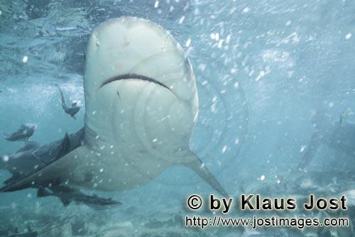 Bull shark/Carcharhinus leucas        Underneath view of Bull Shark        Together with the Tiger S