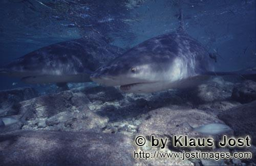 Bull shark/Carcharhinus leucas        Two Bull Sharks in late afternoon light        Together with