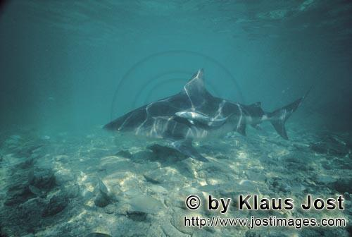 Bull shark/Carcharhinus leucas        Bull Shark sliding through the water        Together with the