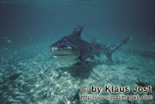 Bull Shark/Carcharhinus leucas        Encounter with the Bull Shark         Together with the Tiger