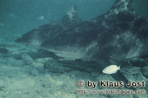 Bullenhai/Bull shark/Carcharhinus leucas        Two Bull Sharks and a little fish        Together wi