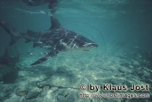 Bull Shark cutting through the shallow water