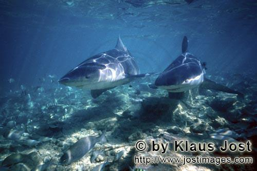 Bull shark/Carcharhinus leucas        Two Bull Sharks in shallow water        Together with the Tige