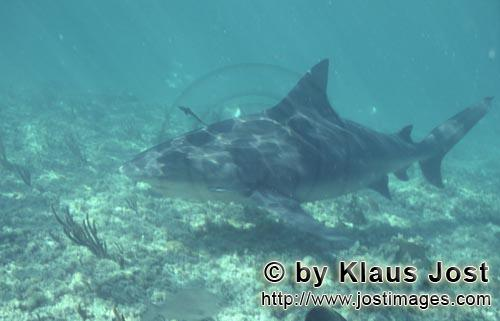 Bullenhai/Bull Shark/Carcharhinus leucas        Bull shark close above the sea floor	        Togethe