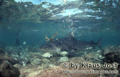 Bull Shark/Carcharhinus leucas        Bull shark in the surf zone        Together with the Tiger Sha