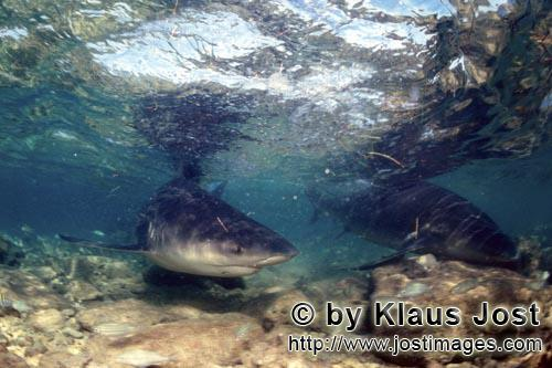 Bull Shark/Carcharhinus leucas        Bull Shark in extreme shallow water        Together with the T