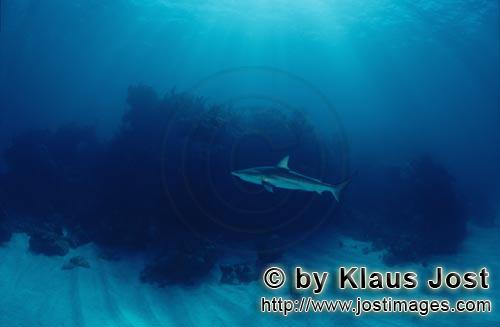 Schwarzspitzenhai/Blacktip shark/Carcharhinus limbatus        Blacktip shark before dense vegetation