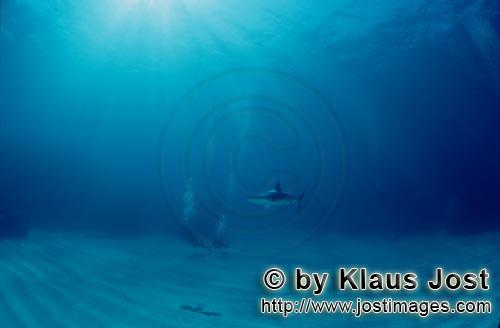 Schwarzspitzenhai/Blacktip shark/Carcharhinus limbatus         Blacktip shark and diver        Bl