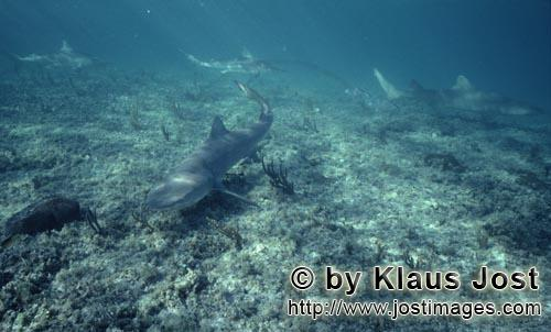 Zitronenhai/Lemonl shark/Negaprion brevirostris        Lemon Shark in shallow water
