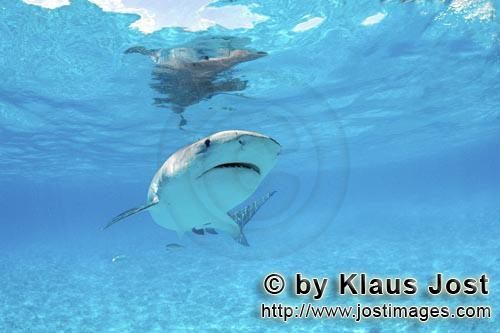 Tigerhai/Tiger shark/Galeocerdo cuvier        Tiger Shark in the shallow waters of the lagoon