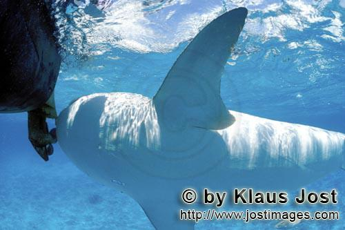 Tigerhai/Tiger shark/Galeocerdo cuvier        Tiger shark underside        On our boat there is a �