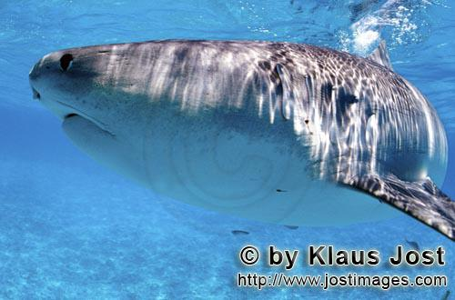 """Tigerhai/Tiger shark/Galeocerdo cuvier         Tiger shark         On our boat there is a """"sports"""