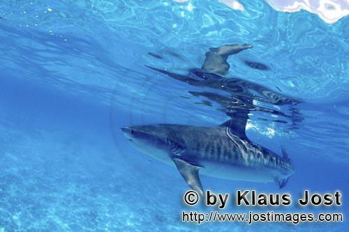"""Tigerhai/Tiger shark/Galeocerdo cuvier        Tiger shark        On our boat there is a """"sports fi"""