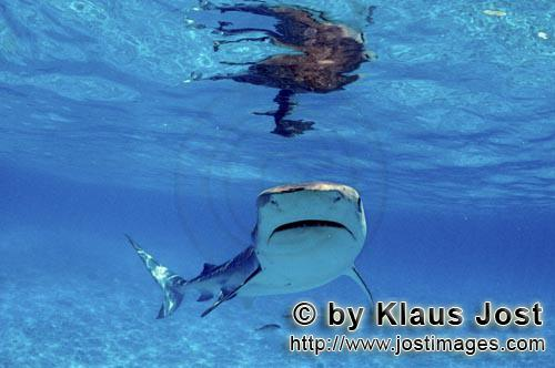 """Tigerhai/Tiger shark/Galeocerdo cuvier         """"Niuhi"""" the Tiger Shark        On our boat there"""