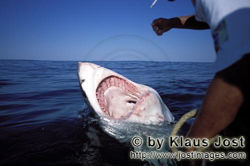 Great White Shark/Carcharodon carcharias        Great White Shark - Open Jaws         Six sea (or na
