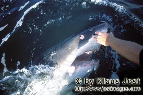 Weißer Hai/Great White Shark/Carcharodon carcharias        Great White Shark turing its eye backwar