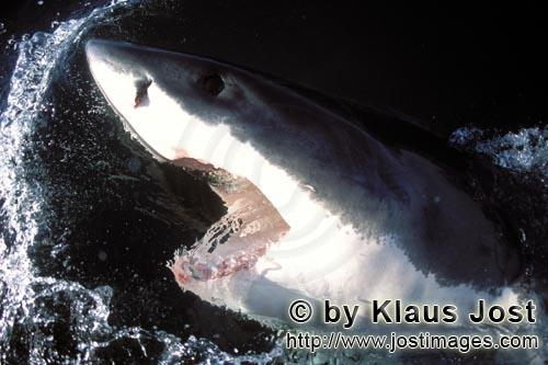 Weißer Hai/Great White Shark/Carcharodon carcharias        Great White Shark lifts its head out of