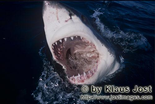 Weißer Hai/Great White Shark/Carcharodon carcharias        Picture inside a Great White Shark ´s m