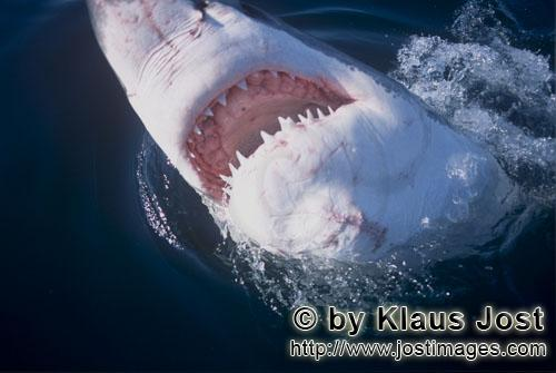 Weißer Hai/Great White Shark/Carcharodon carcharias        Great White Shark with its mouth open</b
