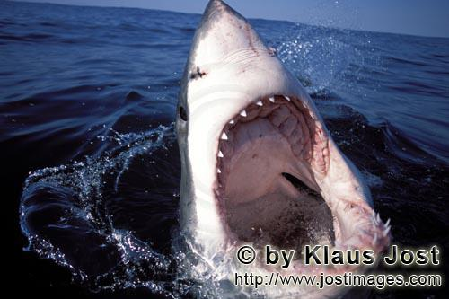 Great White Shark/Carcharodon carcharias         An intriguing look inside the mouth of the Great Wh