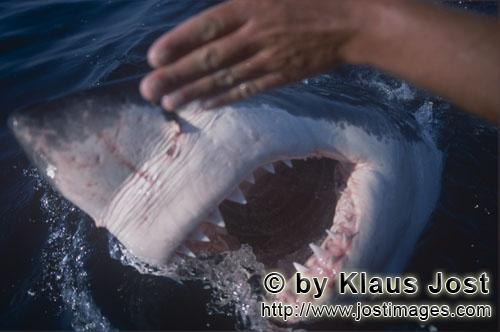 Weißer Hai/Great White Shark/Carcharodon carcharias        Great White shark - jaws wide open