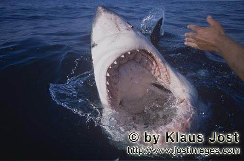 Weißer Hai/Great White Shark/Carcharodon carcharias        Photo inside a Great White Shark ´s mou