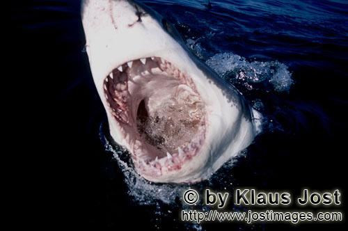 Weier Hai/Great White Shark/Carcharodon carchariasSlashing jaws of the Great White SharkWith its mouth open, the Great White Shark (Carcharodon carcharias) is emerging from the opaque water. Its sharp triangular teeth are feared and with the movable upper jaw it is able to hunt large prey, too. African penguins, cormorants (or sea ravens), many other sea birds and a large colony of South African fur seals (Arctocephalus pusillus) live here. The surface hunter often finds his prey on the water surface. The super-robber great white shark with its size and strength and fearsome jaws is a permanent danger to the South African fur seals around Dyer Island and Geyser Rock. The great white shark belongs to the family of mako sharks and has very large gill slits and long pectoral fins. The largest great white shark ever caught had a length of 6.4 meters and an estimated weight of 1500 kg. In making a surprise attack from the depths they accelerate so fast that they sometimes shoot out of the water. The jaws of the great white shark with their sharp triangular teeth in the upper jaw and the pinpointed tusks in the lower jaw are notorious and dreaded. In order to be able to catch larger prey, the upper jaw is loose (or movable) and can be pushed forward. Lost or damaged teeth are replaced without any problem for a lifetime. The great white shark is the top robber of the food chain and fulfils an important task in conserving the ecological balance in the ocean. There is very little known about their behaviour and habitat. The great white shark exists almost unchanged for millions of years and has adjusted optimally to its environment. But now there is a danger that it will be exterminated by us humans.