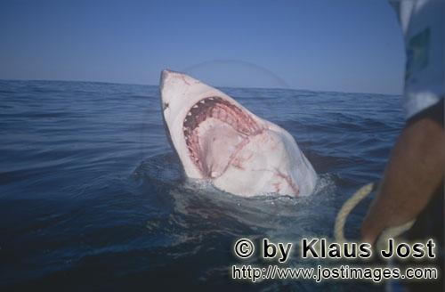 Weißer Hai/Great White Shark/Carcharodon carcharias        Great White Shark mouth open        With