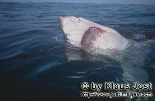 Weißer Hai/Great White Shark/Carcharodon carcharias        Great White Shark with mouth open
