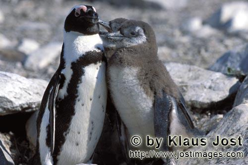 Brillenpinguin/African Penguin/Spheniscus demersus        African Penguin with young penguins