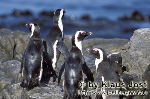 Brillenpinguin/African Penguin/Spheniscus demersus        African Penguins on rocky ground         <