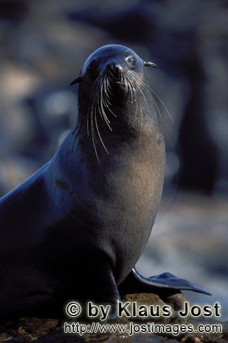 South African fur seal/Arctocephalus pusillus        South African Fur Seal or Cape Fur Seal
