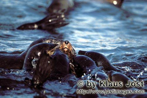 Suedafrikanische Pelzrobbe/South African fur seal/Arctocephalus pusillus        Fur seals Pasha is s