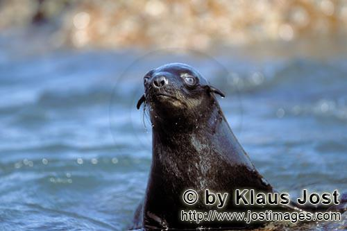 South African fur seal/Arctocephalus pusillus        Fur seal on the lookout        On the rocky isl