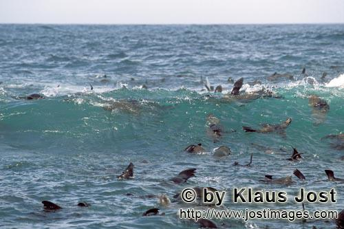 South African fur seal/Arctocephalus pusillus        Seals like a strong swell         On the rocky