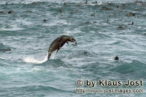 Suedafrikanische Pelzrobbe/South African fur seal/Arctocephalus pusillusFur Seals in the surf On the rocky island called Geyser Rock, in the immediate vicinity of Dyer Island, lives a seal colony of approximately 60,000 animals. As long as the South African Fur Seals (Arctocephalus pusillus) stay ashore and in the shallow water in the immediate vicinity of the island there is no danger for them. But if they start for their fishing hauls on the open sea – they dive 40 to 50 metres deep and are able to stay under water for up to five minutes – while swimming out and at their return, they have to cross a dangerous area which is tough for them. White Sharks lurk here. Seals are especially valuable for them. The danger is not over until the seals are back ashore. The high concentration of Great White Sharks is due to the seal colony.