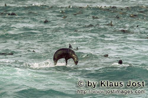 South African fur seal/Arctocephalus pusillus        Jumping fur seal in the swell         On the ro