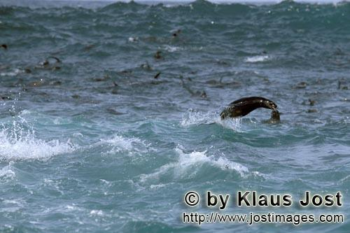 Suedafrikanische Pelzrobbe/South African fur seal/Arctocephalus pusillusFur Seals in the surfOn the rocky island called Geyser Rock, in the immediate vicinity of Dyer Island, lives a seal colony of approximately 60,000 animals. As long as the South African Fur Seals (Arctocephalus pusillus) stay ashore and in the shallow water in the immediate vicinity of the island there is no danger for them. But if they start for their fishing hauls on the open sea – they dive 40 to 50 metres deep and are able to stay under water for up to five minutes – while swimming out and at their return, they have to cross a dangerous area which is tough for them. White Sharks lurk here. Seals are especially valuable for them. The danger is not over until the seals are back ashore. The high concentration of Great White Sharks is due to the seal colony.