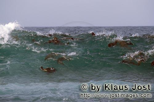 South African fur seal/Arctocephalus pusillus        South African fur seals in their element