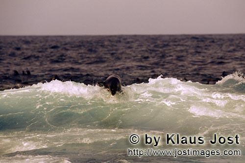 Suedafrikanische Pelzrobbe/South African fur seal/Arctocephalus pusillusFur Seal in the surf On the rocky island called Geyser Rock, in the immediate vicinity of Dyer Island, lives a seal colony of approximately 60,000 animals. As long as the South African Fur Seals (Arctocephalus pusillus) stay ashore and in the shallow water in the immediate vicinity of the island there is no danger for them. But if they start for their fishing hauls on the open sea – they dive 40 to 50 metres deep and are able to stay under water for up to five minutes – while swimming out and at their return, they have to cross a dangerous area which is tough for them. White Sharks lurk here. Seals are especially valuable for them. The danger is not over until the seals are back ashore. The high concentration of Great White Sharks is due to the seal colony.