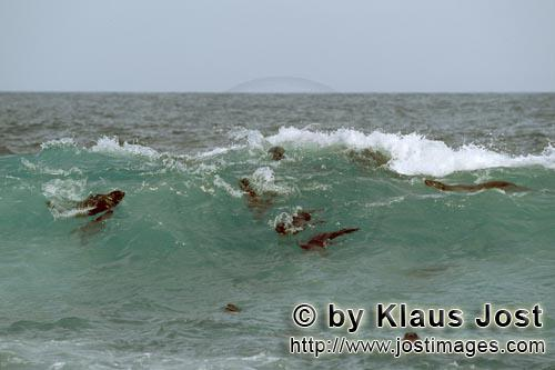 Suedafrikanische Pelzrobbe/South African fur seal/Arctocephalus pusillus        Fur Seals in the sur